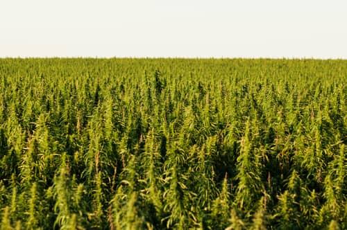 marijuana hemp field